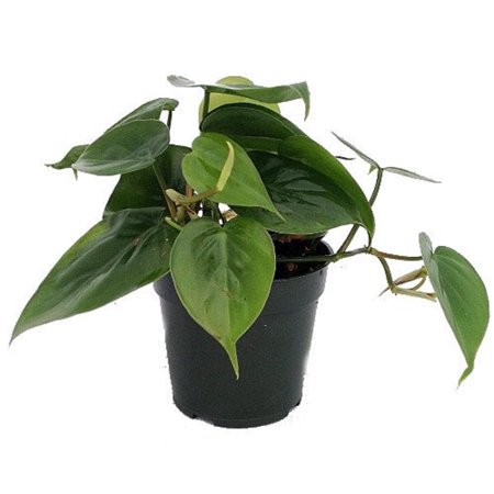 Heart Leaf Philodendron - Easiest House Plant to Grow - 4