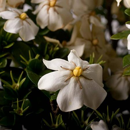 Scentamazing Gardenia | Live Evergreen Shrub with White Fragrant Blooms ()