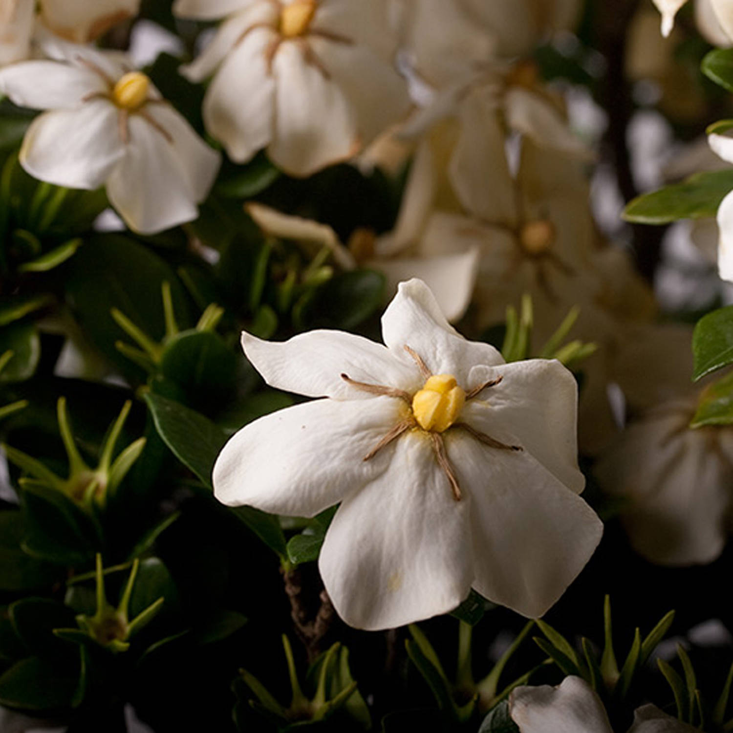 Scentamazing Gardenia - Southern Living Plant Collection – Garden Shrub