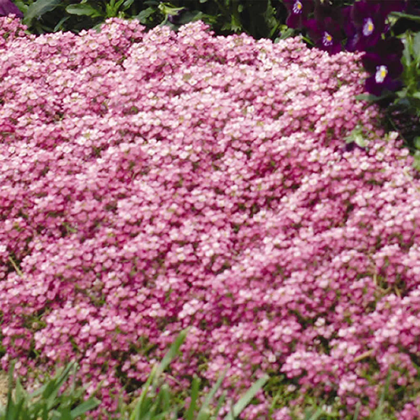 Alyssum Easter Bonnet Seeds - Color: Deep Pink - Approx 5000 Annual Flower Garden Seeds - Lobularia maritima