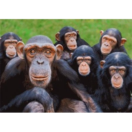 Orphan Chimpanzees - Wildlife - 3D Postcard Greeting Card, Close-up image of Orphan Chimps - Monkey World Ape Rescue Centre,Dorset, UK - By 3dstereo Postcard ()