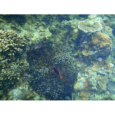 Canvas Print Sea Coral Reefs Clownfish Okinawa Nemo Stretched Canvas 10 x