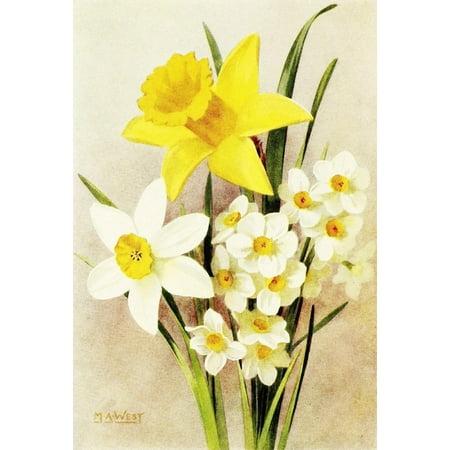 Daffodil Bulb - Bulb Gardening 1922 Daffodils Stretched Canvas - Maud Astley West (24 x 36)