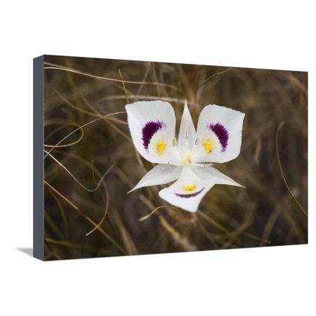 Mariposa Lily Stretched Canvas Print Wall Art By Brenda Petrella Photography LLC