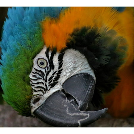 Hyacinth Macaw Parrots (LAMINATED POSTER Bird Parrot Hyacinth Macaw Hyacinth Wildlife Poster Print 24 x 36 )