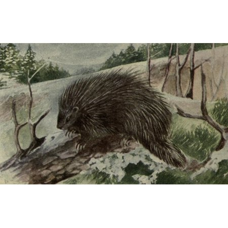 Image of North American Wild Animals 1915 Porcupine Canvas Art - Harry F Harvey (24 x 36)