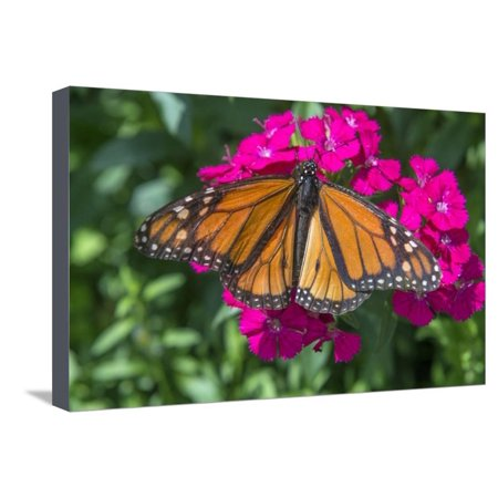 Monarch butterfly, pink Dianthus, garden, USA Stretched Canvas Print Wall Art By Jim Engelbrecht Butterfly Garden Wall Art