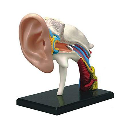 4D Human Ear Anatomy Model