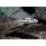 Peel-n-Stick Poster of Reptile Komodo Dragon Lizard Animals Poster 24x16 Adhesive Sticker Poster Print