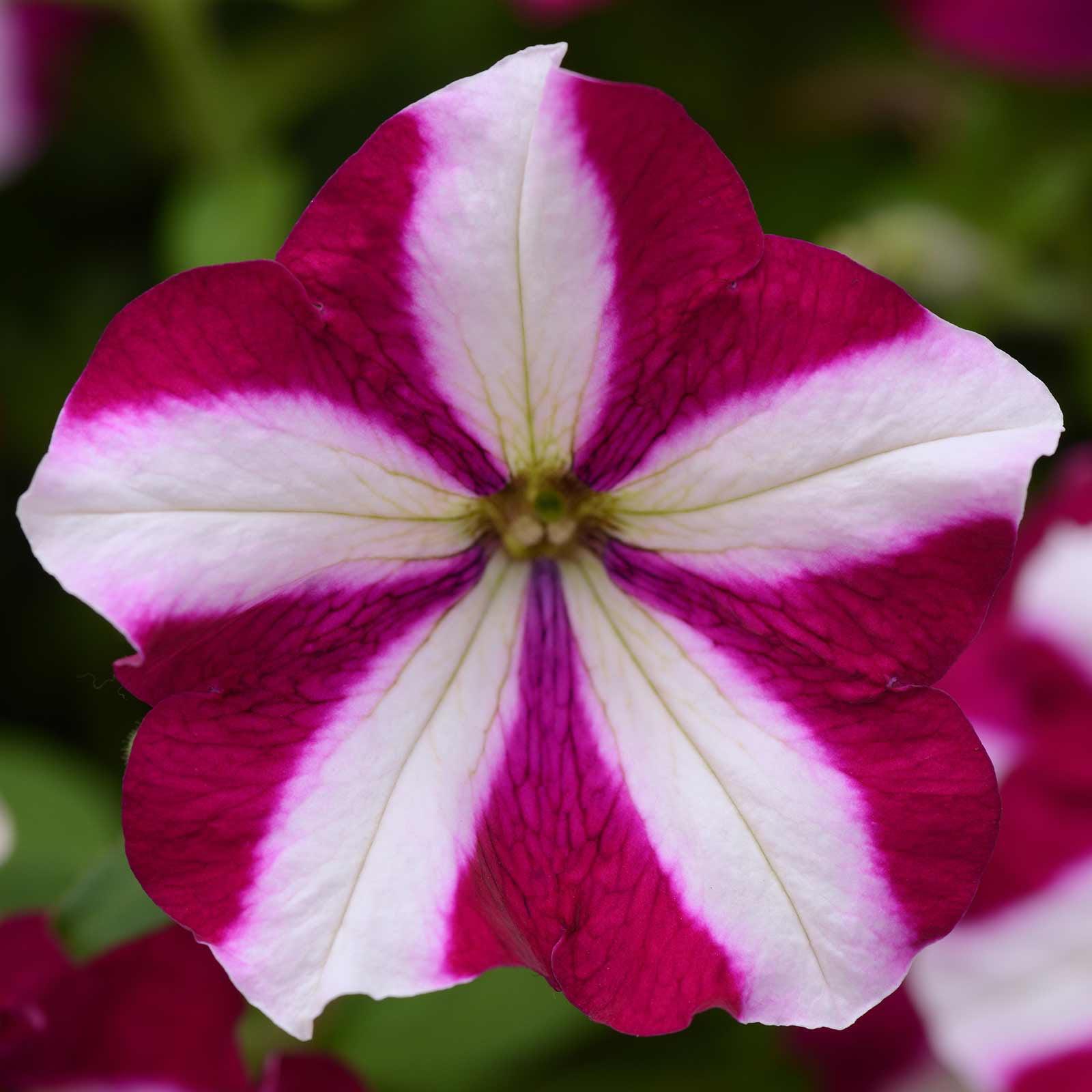 Petunia - Easy Wave Flower Garden Seed - 100 Pelleted Seeds - Burgundy Star Blooms - Annual Flowers - Spreading Low Growing Petunias