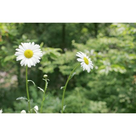 Framed Art for Your Wall White Flower Daisy Flowers Spring Republic of Korea 10x13 (Korean Spring)