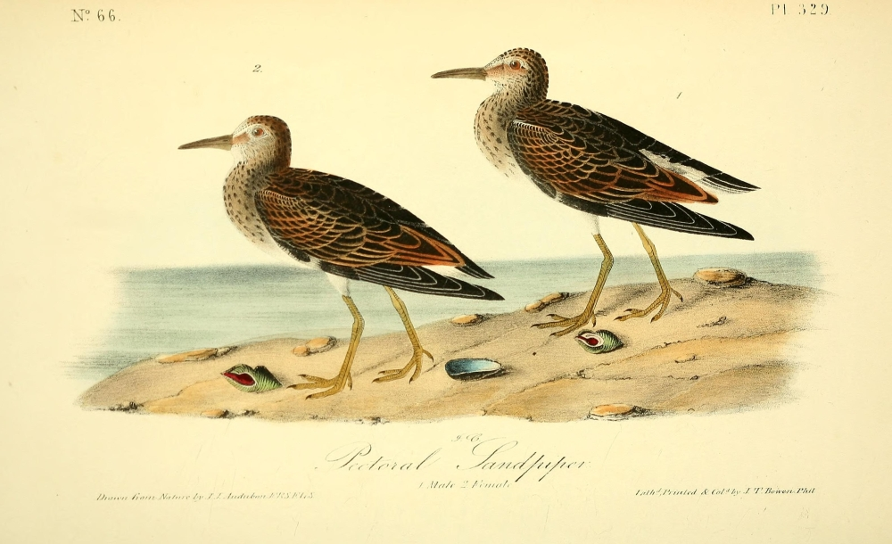 Birds of America 1844 Pectoral Sandpiper Canvas Art - JJ Audubon (18 ...