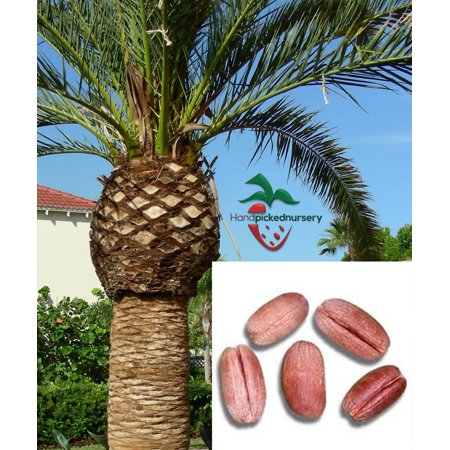 25  Canary Island Date Palm seeds, ( Phoenix canariensis ) from Hand Picked Nursery