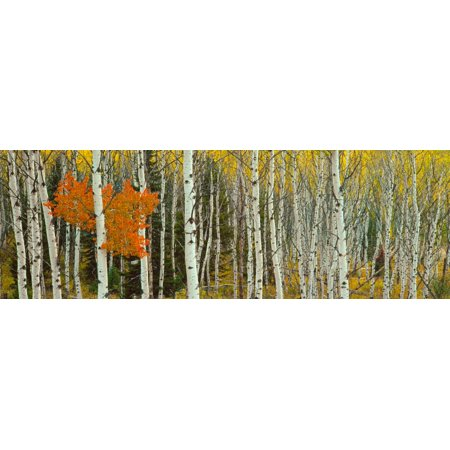Aspen Trees In A Forest Valley Trail Grand Teton National Park Wyoming Usa Poster Print