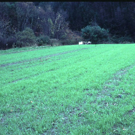 Winter Rye Seeds - 25 Lbs Bulk - Non-GMO Rye Grain Cover Crop
