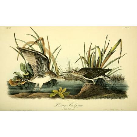 Birds of America 1844 Solitary Sandpiper Stretched Canvas - JJ Audubon (24 x 36)