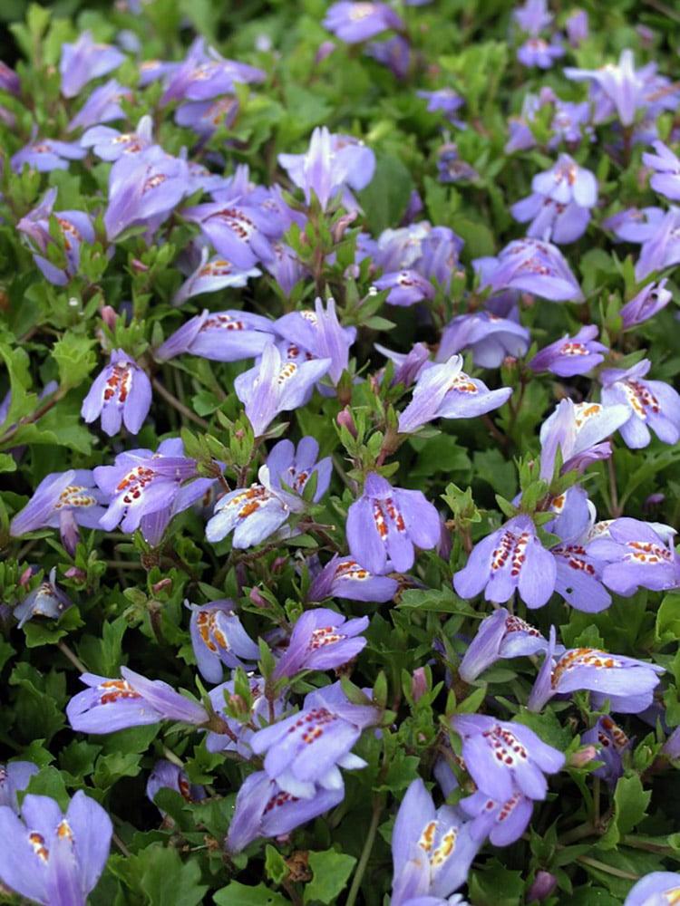 "Mazus reptans 4/"" Pot Purple Cupflower Plant Very Hardy"