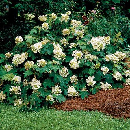 Pee Wee Oakleaf Hydrangea Perennial   Dwarf White   4  Pot