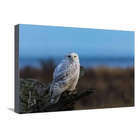 Driftwood Series (Wildlife in Boundary Bay Series - Beautiful Snowy Owl Sitting on Driftwood at Sunset Time 1 Stretched Canvas Print Wall Art By poemnist)