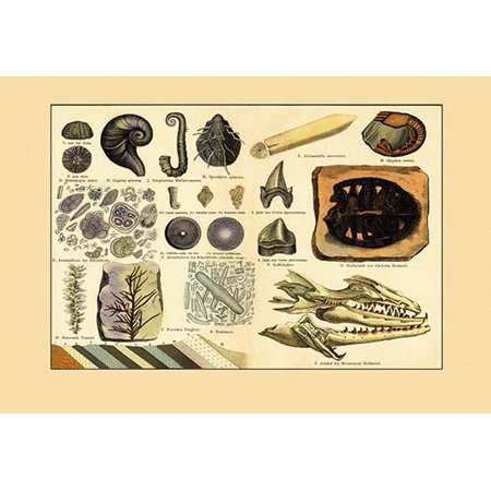 A collection of dinosaur fossils including a turtle shark teeth worms shrimp diatoms sea urchins and other creatures Poster Print by unknown