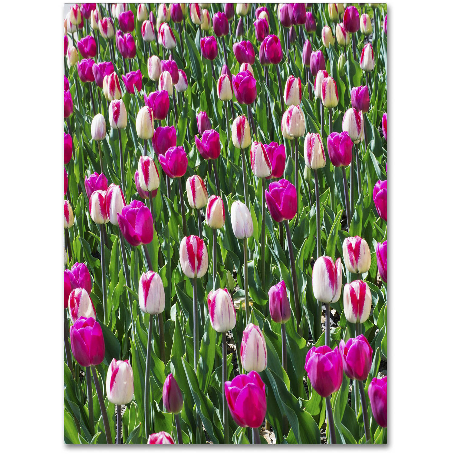 "Trademark Fine Art ""Tulips"" Canvas Art by Kurt Shaffer"