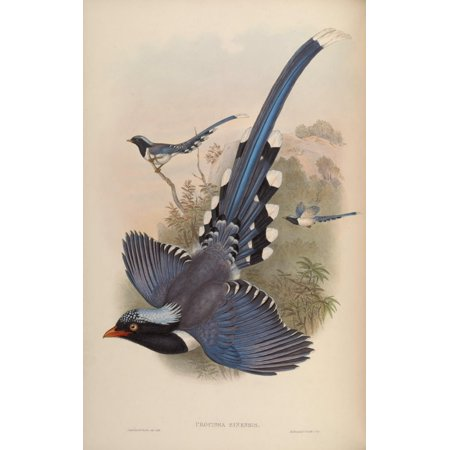 Birds of Asia 1850 Chinese Blue Pie Canvas Art - John Gould (24 x 36)