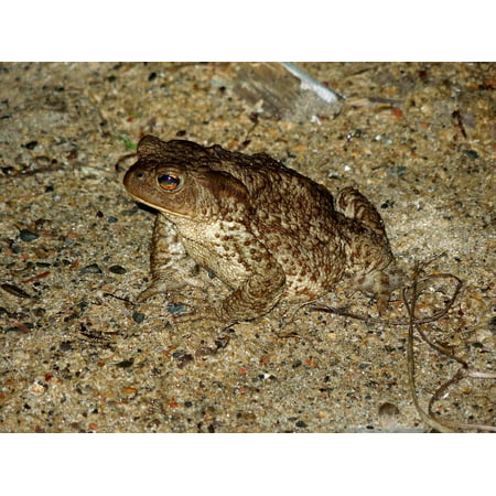 Sand Frog - LAMINATED POSTER Sand Frog Nature Poster Print 24 x 36
