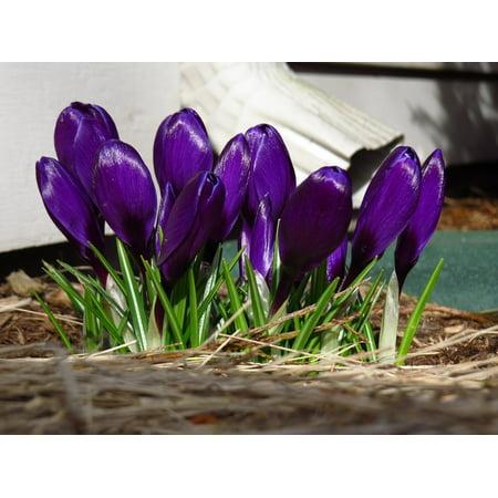 LAMINATED POSTER Petals Flowers Blossoms Violet Purple Crocus Poster Print 24 x 36