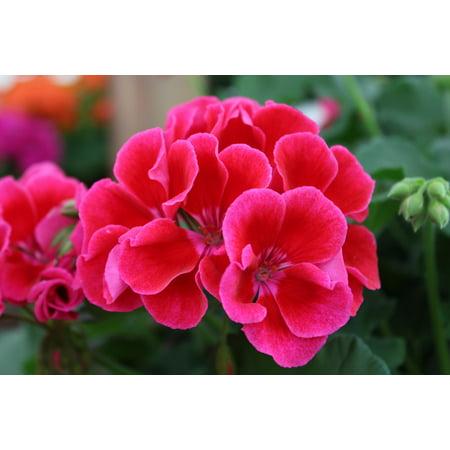 Image of Better Homes&gardens 12hb Bhg Calliope Crimson Flame