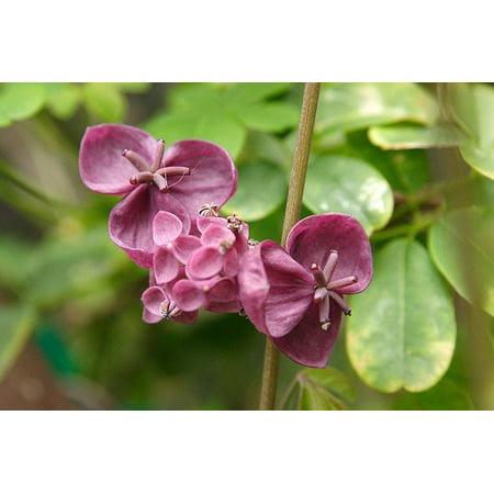 Chocolate Vine Perennial - Akebia quinata - 2.5