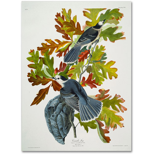 "Trademark Fine Art ""Canada Jay"" Canvas Art by John James Audubon"
