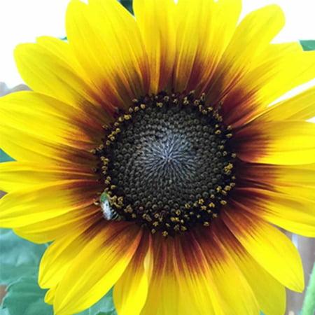 Murano Millefiori Flower Ring - Sunflower Flower Garden Seeds - Ring of Fire -100 Seeds - Annual Wildflower Gardening Seeds - Sun Flower