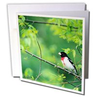 3dRose Rose-breasted Grosbeak male in Common Hackberry tree, Marion, IL - Greeting Cards, 6 by 6-inches, set of 12