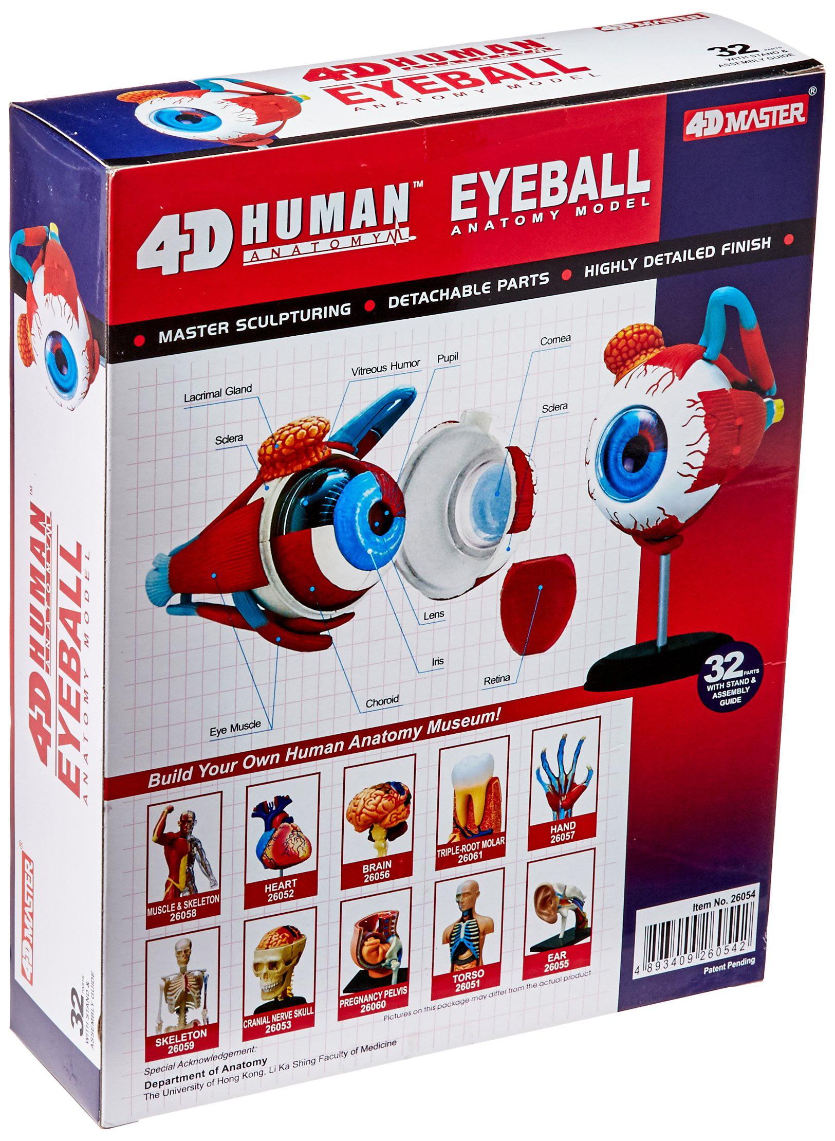 Tedco Human Anatomy Eyeball Anatomy Model