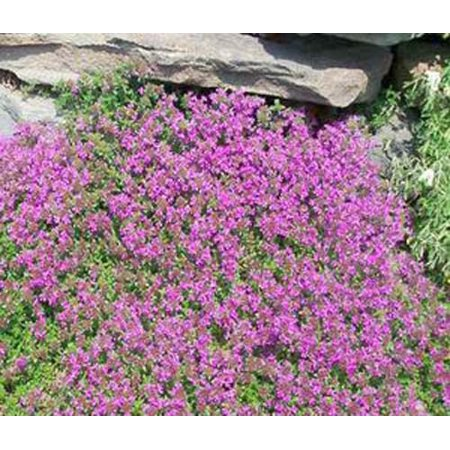 Thyme Creeping Thyme Great Garden Herb 3,000 (Garden Fresh Herbs)