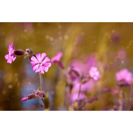 Laminated poster pink flower pink flower red campion bloom blossom laminated poster pink flower pink flower red campion bloom blossom poster print 24x16 adhesive decal mightylinksfo