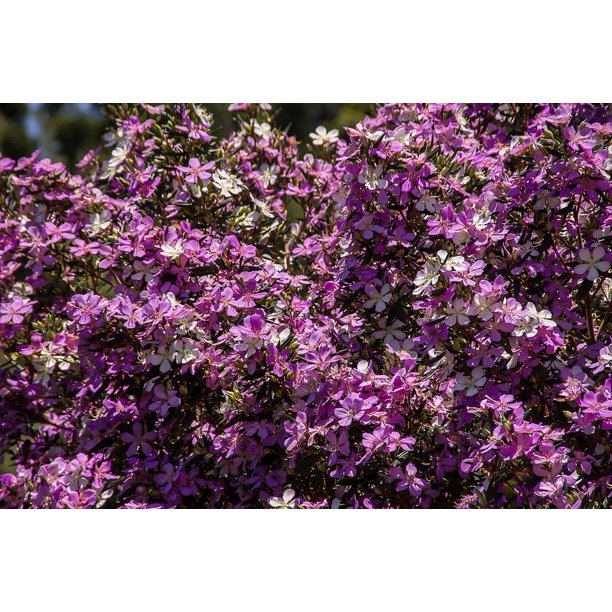 Laminated Poster Blossom Tree Lavender Purple Flowers Pink Blooms