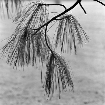 Kew Gardens, Greater London.Twigs and Long Needles on a Pine Tree at Kew Gardens Print Wall Art By John