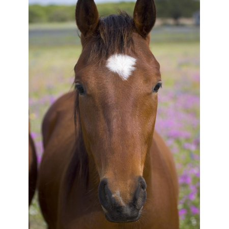 Quarter Horse in Wildflowers, Devine, Texas, USA Print Wall Art By Darrell Gulin