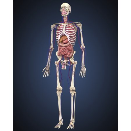 Human skeleton with organs and circulatory system Poster