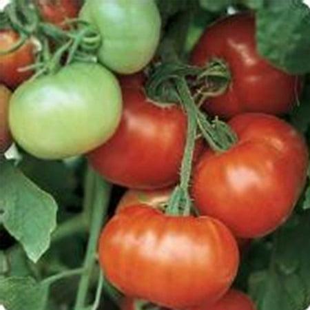 Tomato Garden Seeds - Super Fantastic Hybrid - 100 Seeds - Non-GMO, Vegetable Gardening Seed (Super Sioux Tomato)