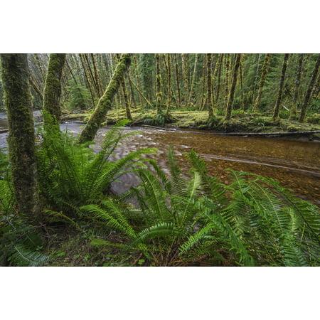 - Haans Creek flows through the green rainforest near Sandspit Haida Gwaii British Columbia Canada Canvas Art - Robert Postma  Design Pics (38 x 24)
