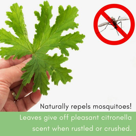 Clovers Garden 2 Citronella Mosquito Repellent Plants in 4-Inch Pots –  Citrosa Geranium Plant Naturally Repels Mosquitos, No See Ums and Other