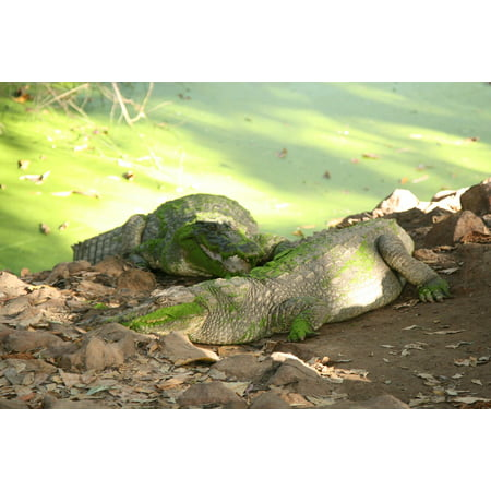 LAMINATED POSTER Green Crocodile Nature Water Poster Print 24 x (Green Crocodile Print)