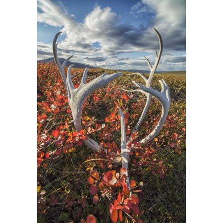 Caribou antlers in autumn colours on the flanks of Crow Mountain near Old Crow Yukon Canada Canvas Art - Robert Postma Design Pics (12 x 19)
