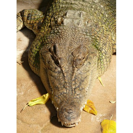 Canvas Print Reptile Cayman Wide Muzzles Cayman Animal Alligator Stretched Canvas 10 x 14
