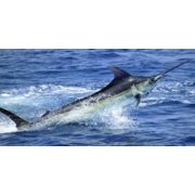 Marlin Jumping Photo License Plate Frame