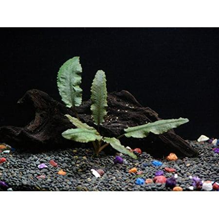 - Cryptocoryne Wendtii Bronze - Beginner Tropical Live Aquarium Plant
