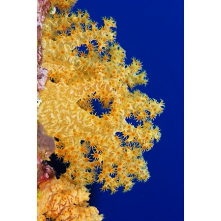Micronesia Yap Soft Alcyonarian Coral (Dendronephthya Sp) Illuminated In Ocean Canvas Art - Dave Fleetham Design Pics (11 x 17)