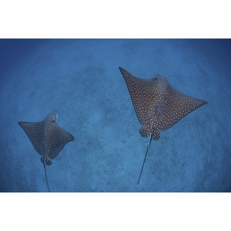 Spotted eagle rays swim over the seafloor near Cocos Island Costa Rica Canvas Art - Ethan DanielsStocktrek Images (34 x 23)